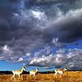 Pronghorn Under Stormy Sky by Thomas R Fletcher