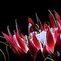 Protea 1 by Elisabeth Lucas