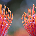 Protea 6 by Jean Booth