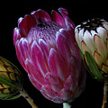 Proteas by Wayne Sherriff