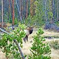 Protective Elk by Robert Meyers-Lussier