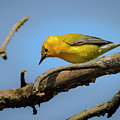 Prothonotary Warbleer - Magee Marsh  by Jack R Perry