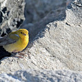 Prothonotary Warbler by David Lipsy