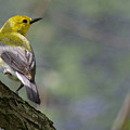 Prothonotary Warbler by Jenny Gandert