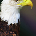 Proud Bald Eagle by Isabella Howard