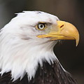 Proud Eagle by Angie Vogel
