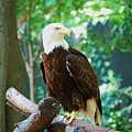 Proud Eagle by Eric Liller