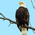 Proud Eagle by Terri Morris