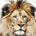 Proud Lion by Scott Kemper