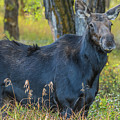 Proud Mama Moose by Yeates Photography