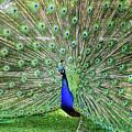 Proud Peacock by Deborah England