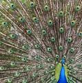 Proud Peacock by Sabrina L Ryan