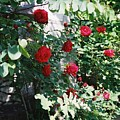 Provence Red Roses by Nadine Rippelmeyer
