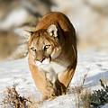 Prowling Mountain Lion by Scott Read