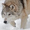 Prowling Wolf by Scott Read
