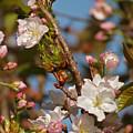 Prunus Amanogawa by Steve Watson