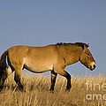 Przewalskis Stallion by Jean-Louis Klein & Marie-Luce Hubert