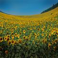 Psychodelic Sunflowers by Angel Ciesniarska
