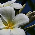 Pua Lena Pua Lei Aloha Tropical Plumeria Maui Hawaii by Sharon Mau