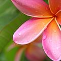 Pua Melia Earth Heart by Sharon Mau