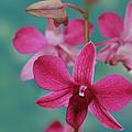Puanani Kealoha Dendrobium D Burana Red Flame Hawaiian Orchid by Sharon Mau