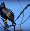 Puffed Up Starling by Kathy Barney