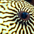 Pufferfish by Dave Fleetham - Printscapes