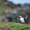 Puffin Dance by Tracy Munson