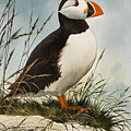 Puffin by James Williamson