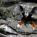Jumpin Puffin by Jean Noren