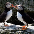 Puffin Love by Brent L Ander
