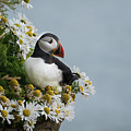 Puffin On Latrabjarg Cliff by Ming Gullo
