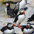 Puffins At Rest by John Burk