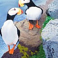 Puffins by Jim Bob Swafford