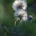 Puffs 1664-111417-1cr by Tam Ryan