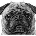 Pug T-shirt by Edward Fielding
