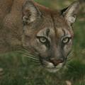 Puma  by Jane Indigo Moore