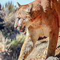 Puma Mountain Lion Nature Wear by LeeAnn McLaneGoetz McLaneGoetzStudioLLCcom