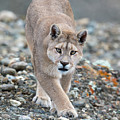 Puma Walk by Max Waugh