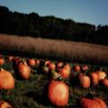 Pumpkin Field Shadows by Karen Adams