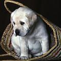 Puppy In A Basket by Gordon Henderson