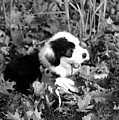 Puppy In The Leaves by Kathleen Struckle