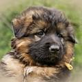 Puppy Portrait II by Sandy Keeton
