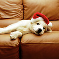Puppy Wears A Christmas Hat, Lounges On Sofa by Karina Santos