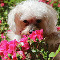 Puppy With Roses by Carol Groenen
