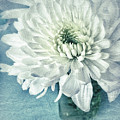 Chrysanthemum Joy by Jill Love