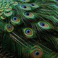 Pure Peacock by Michael J Samuels