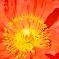 Pure Poppy Sunshine by Maria Urso