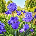 Pure Sapphire Iris by Jamie Gray