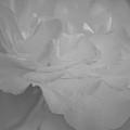 Pure Sincerity by The Art Of Marilyn Ridoutt-Greene